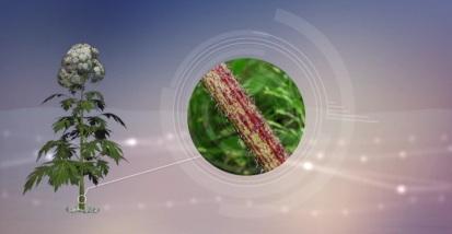 Video: Giant Hogweed